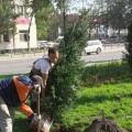 На проспекте Победы в Южно-Сахалинске станет больше деревьев