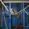 Зеленая мартышка поселилась в Сахалинском зоопарке