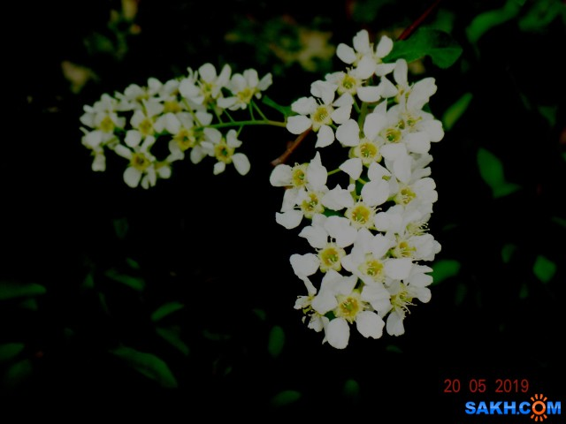 черёмуха цветёт...  Просмотров: 353 Комментариев: 0