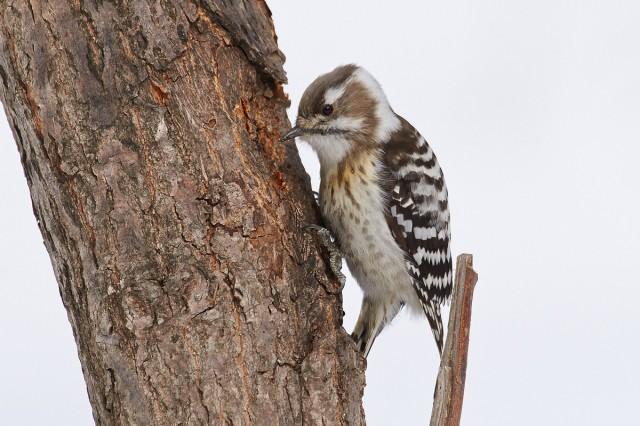 Малый острокрылый дятел Japanese Pygmy Woodpecker  Просмотров: 716 Комментариев: 4