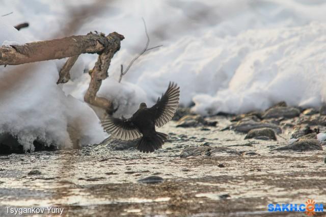 Бурая оляпка Фотограф: Tsygankov Yuriy  Просмотров: 104 Комментариев: 0