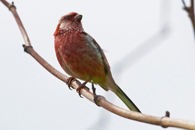 Урагус Фотограф: VictorV Long-tailed Rosefinch  Просмотров: 1087 Комментариев: 0