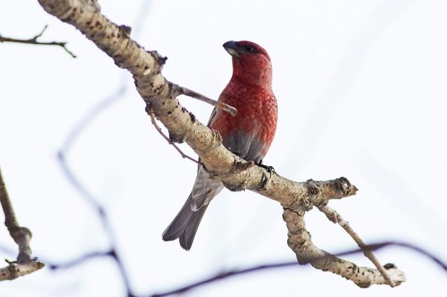 Щур Фотограф: VictorV Pine Grosbeak  Просмотров: 706 Комментариев: 1