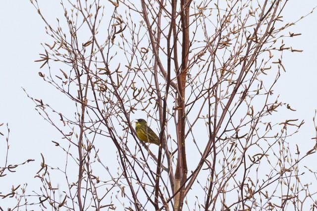 Маскированная овсянка, самец Фотограф: VictorV  Просмотров: 289 Комментариев: 0
