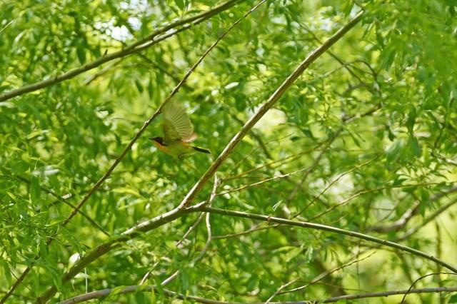 Fly away... Фотограф: VictorV Японская мухоловка, самец.  Просмотров: 403 Комментариев: 0