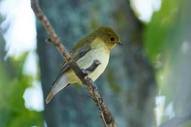 Молодая Японская мухоловка Фотограф: VictorV Narcissus Flycatcher  Просмотров: 401 Комментариев: 0