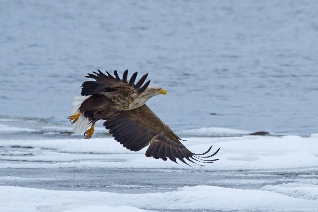 Орлан-белохвост Фотограф: VictorV White-tailed Sea Eagle  Просмотров: 690 Комментариев: 3