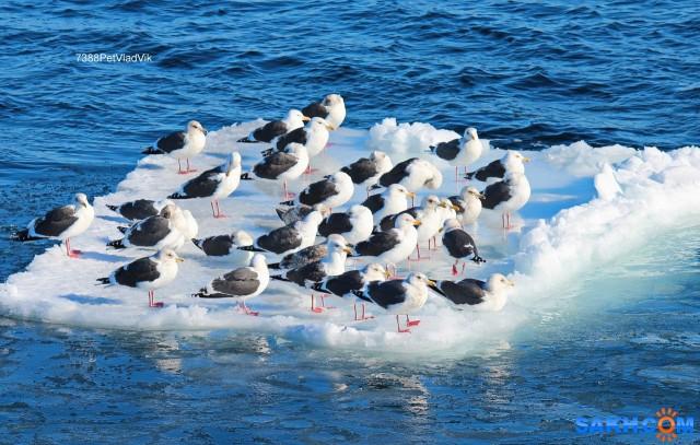 Просто чайки... Фотограф: 7388PetVladVik  Просмотров: 1784 Комментариев: 2