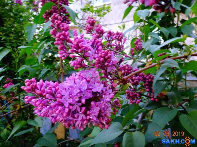 сирень цветёт  Просмотров: 413 Комментариев: 0