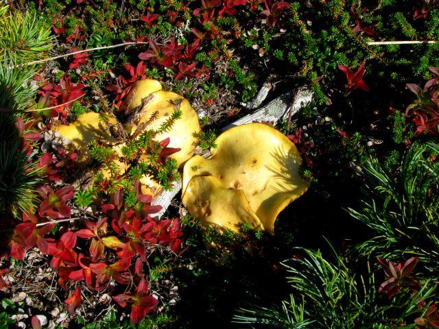 По всей тундре лимонного цвета грибы