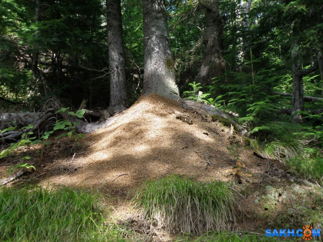 Дворец муравьев (муравейник)  Просмотров: 27 Комментариев: 0