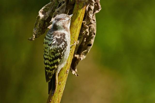 Малый острокрылый дятел Фотограф: VictorV Japanese Pygmy Woodpecker  Просмотров: 590 Комментариев: 0