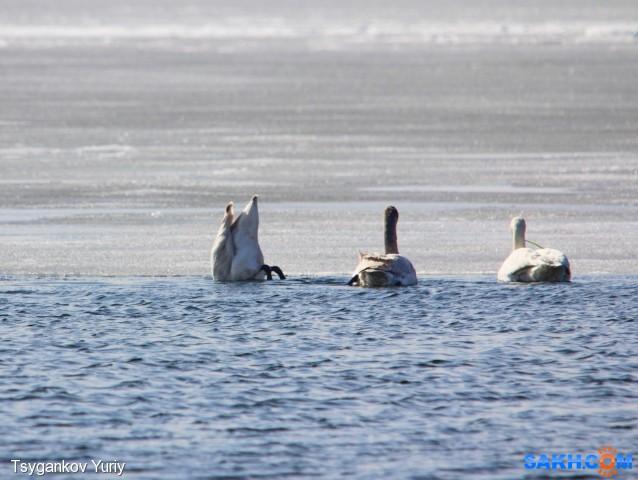 Лебеди достают корм :) Фотограф: Tsygankov Yuriy Там довольно мелко...  Просмотров: 366 Комментариев: 0
