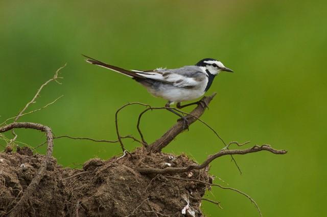 Камчатская трясогузка Фотограф: VictorV Молодая птица  Просмотров: 485 Комментариев: 1