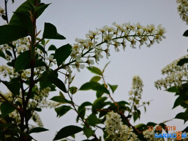 черёмуха цветёт...  Просмотров: 328 Комментариев: 0