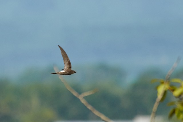 Белопоясный стриж Фотограф: VictorV Fork-tailed Swift  Просмотров: 499 Комментариев: 0