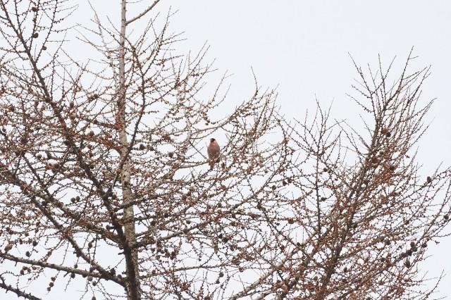 Снегирь, Уссурийский Фотограф: VictorV  Просмотров: 654 Комментариев: 0