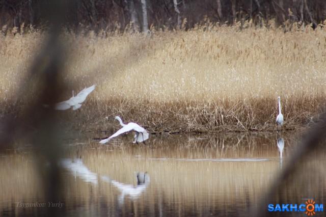 Белые цапли Фотограф: Tsygankov Yuriy  Просмотров: 305 Комментариев: 0
