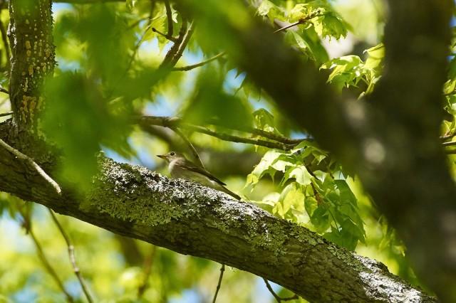Ширококлювая мухоловка Фотограф: VictorV  Просмотров: 537 Комментариев: 0