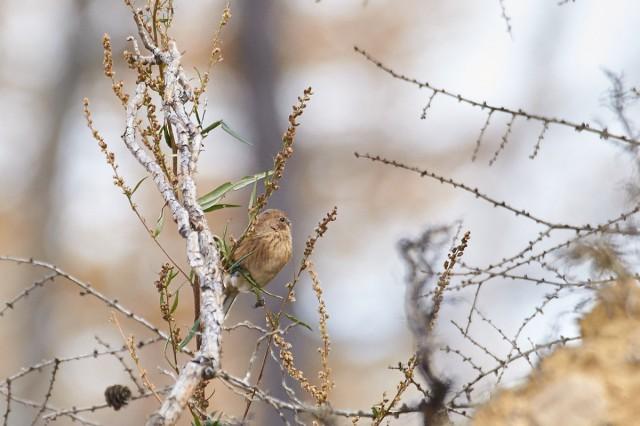 Сибирская чечевица Фотограф: VictorV Pallas's Rosefinch  Просмотров: 318 Комментариев: 0