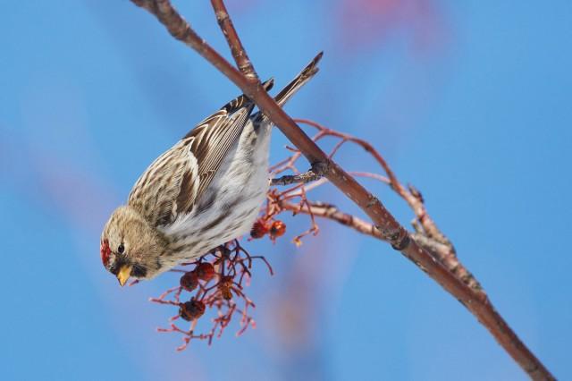 Common Redpoll Фотограф: VictorV Чечетка  Просмотров: 345 Комментариев: 0