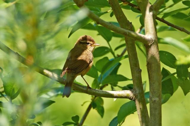 Толстоклювая пеночка Фотограф: VictorV Radde's Warbler  Просмотров: 550 Комментариев: 1