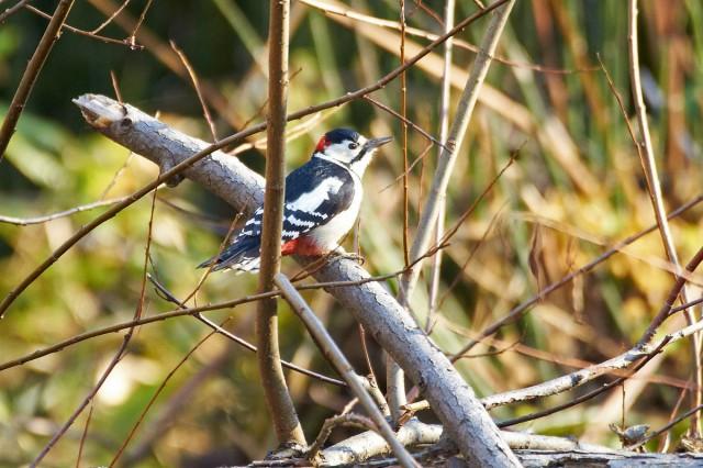 Большой пестрый дятел Фотограф: VictorV Great Spotted Woodpecker  Просмотров: 1625 Комментариев: 2