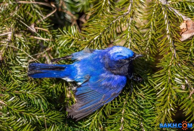 Синяя мухоловка?