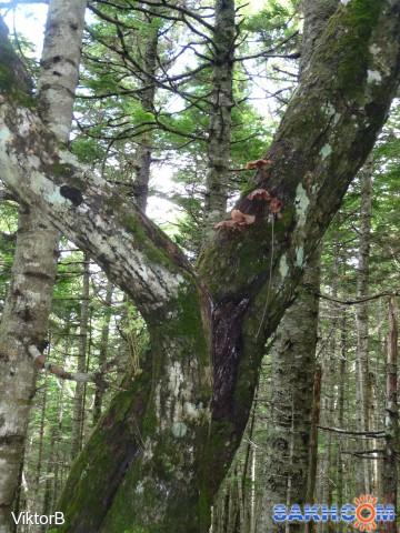 Грибы растут на земле, на пеньках, на стволах деревьев и просто в воздухе! Галюцинации...Ха! Ха! Ха!!!! Фотограф: viktorb  Просмотров: 1415 Комментариев: 0