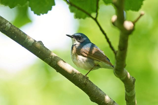 Siberian Blue Robin Фотограф: VictorV Синий соловей  Просмотров: 262 Комментариев: 3