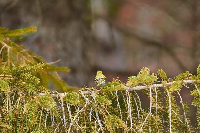 Чижик весенний, стесняющийся )) Фотограф: VictorV  Просмотров: 633 Комментариев: 0