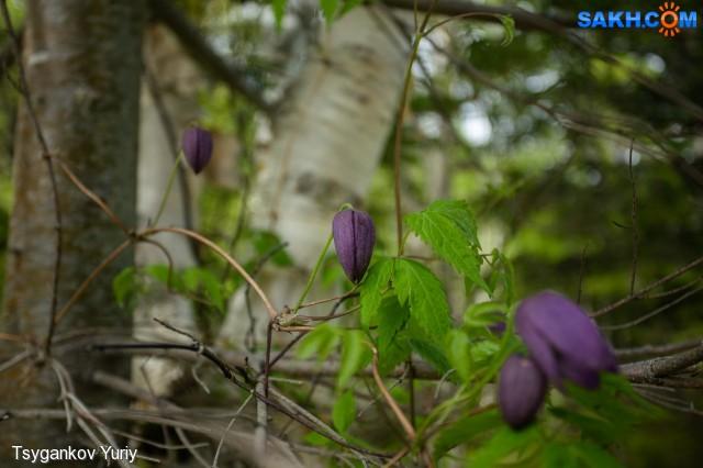Княжик охотский Фотограф: Tsygankov Yuriy  Просмотров: 247 Комментариев: 0