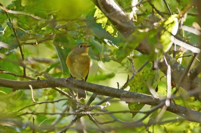 Синехвостка Фотограф: VictorV Orange-flanked Bush-robin  Просмотров: 439 Комментариев: 0