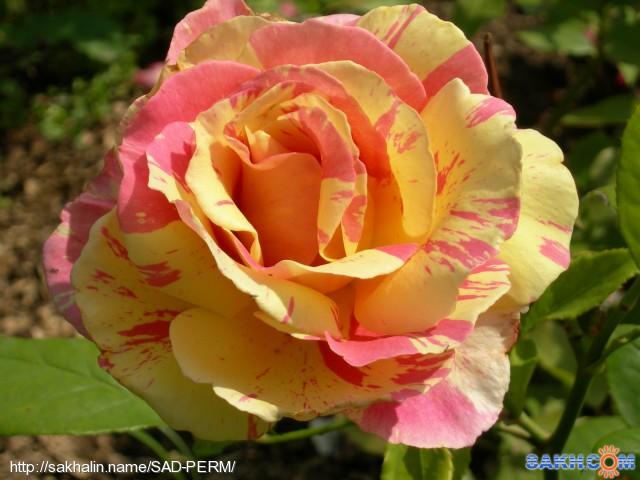 роза Клод Моне,