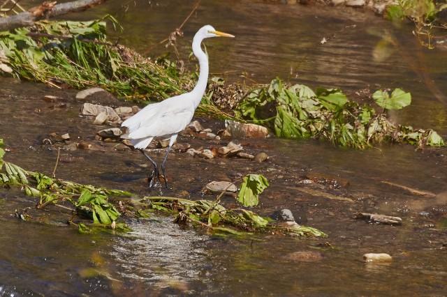 Great White Egret Фотограф: VictorV Большая белая цапля  Просмотров: 554 Комментариев: 1