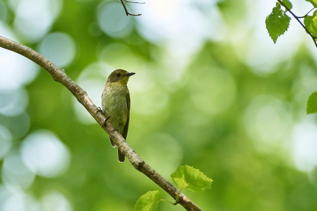 Японская мухоловка, самка Фотограф: VictorV Narcissus Flycatcher, female  Просмотров: 357 Комментариев: 0