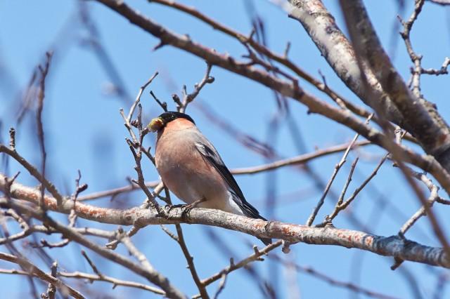 Eurasian Bullfinch Фотограф: VictorV Уссурийский снегирь  Просмотров: 419 Комментариев: 0