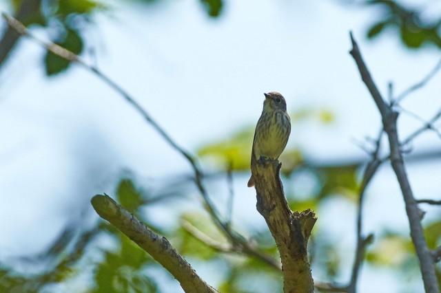 Пестрогрудая мухоловка Фотограф: VictorV  Просмотров: 457 Комментариев: 0