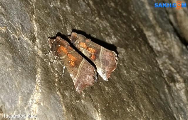scoliopteryx libatrix Фотограф: Tsygankov Yuriy Совка зубчатокрылая. Гора Вайда. Пещера  Останец.  Просмотров: 195 Комментариев: 0