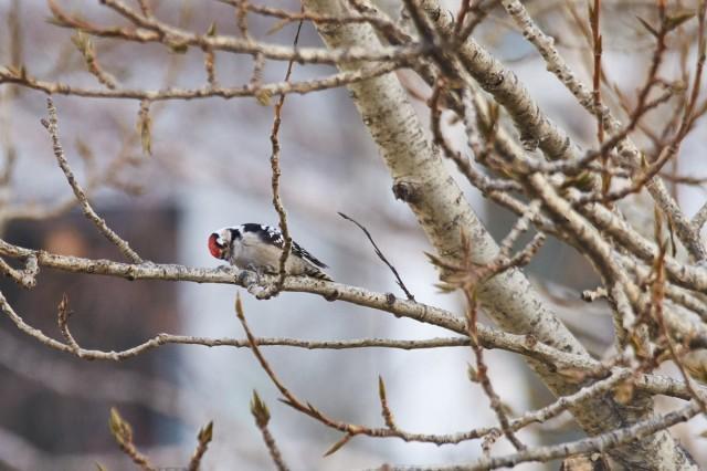 Lesser Spotted Woodpecker Малый пёстрый дятел  Просмотров: 453 Комментариев: 0