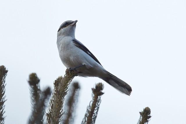 Great Grey Shrike Фотограф: VictorV Серый сорокопут  Просмотров: 313 Комментариев: 0