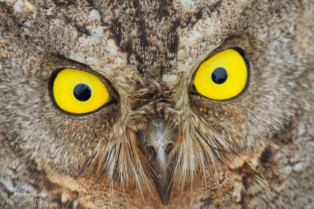 Глаза в глаза... Фотограф: 7388PetVladVik  Просмотров: 537 Комментариев: 3