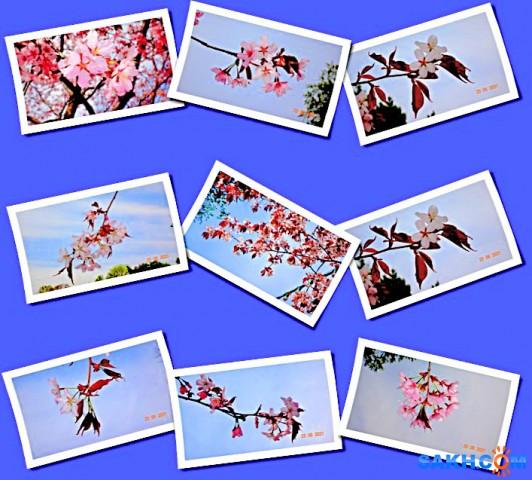 Сакура цветёт!  Просмотров: 35 Комментариев: 0