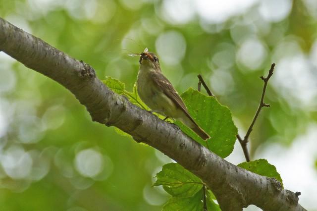 Narcissus Flycatcher, female Фотограф: VictorV Японская мухоловка, самка  Просмотров: 312 Комментариев: 0