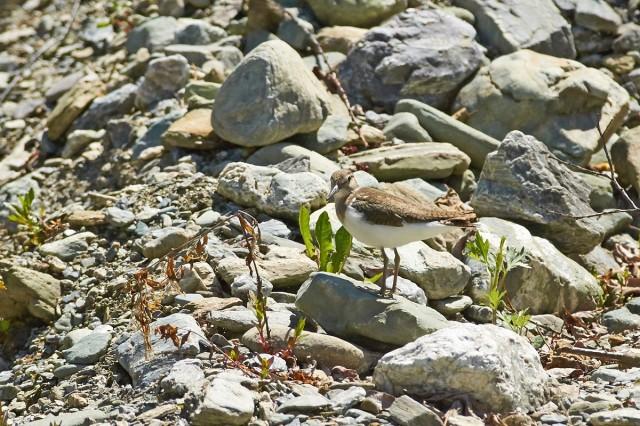 Common Sandpiper Фотограф: VictorV  Просмотров: 370 Комментариев: 0