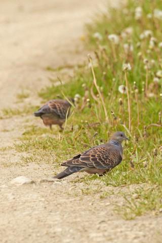 Большая горлица Фотограф: VictorV Oriental Turtle Dove  Просмотров: 961 Комментариев: 0