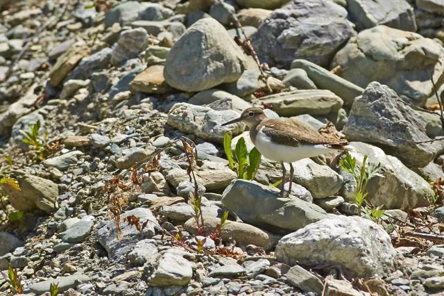 Common Sandpiper Фотограф: VictorV Перевозчик  Просмотров: 376 Комментариев: 0