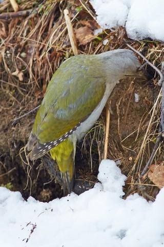 Дятел - землекоп )) Фотограф: VictorV Grey-headed Woodpecker  Просмотров: 456 Комментариев: 0