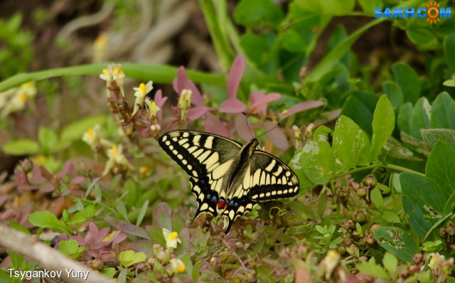 Papilio machaon Linnaeus Фотограф: Tsygankov Yuriy Махаон  Просмотров: 135 Комментариев: 0
