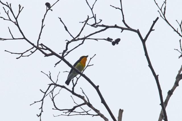 Мимоходом... Фотограф: VictorV Японская мухоловка  Просмотров: 446 Комментариев: 0